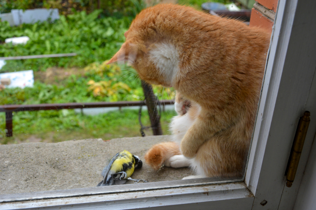 Le chat rapporte souvent sa proie sans la consommer.