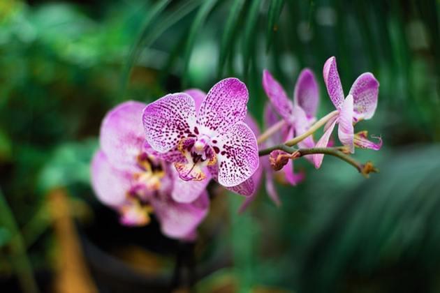 orchidée tachetée