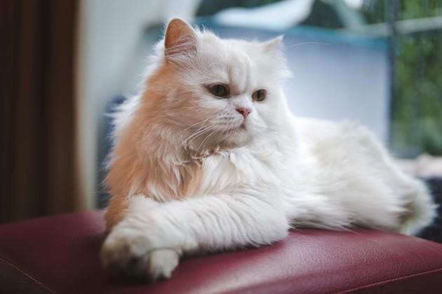 un chat persan blanc