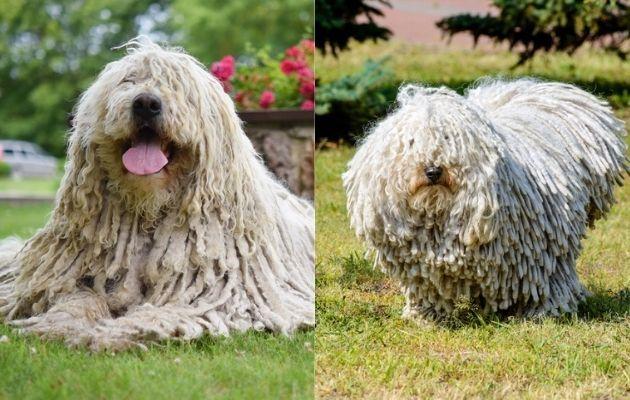 un chien puli et un komondor
