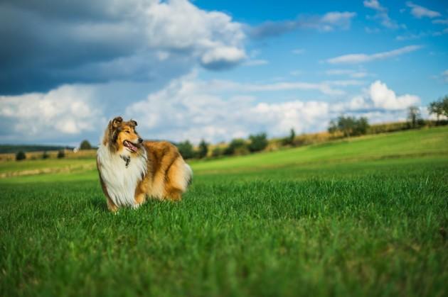 Les petits chiens seraient plus agressifs que les grands, selon une étude