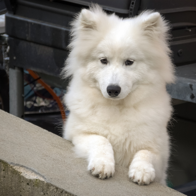 samoyede chien race