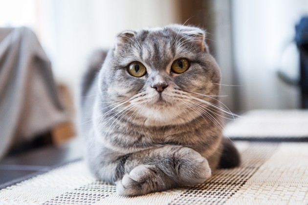 Here are 7 of the smartest cat breeds in the world