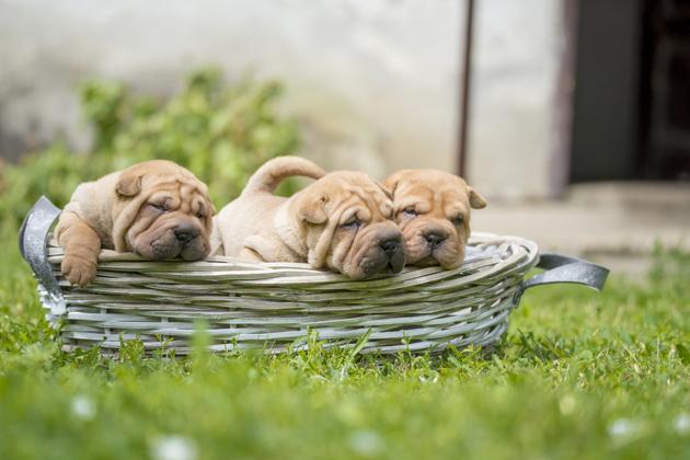 Shar Pei : tout savoir sur cette race de chien