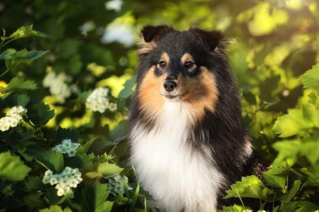 chien de race Shetland