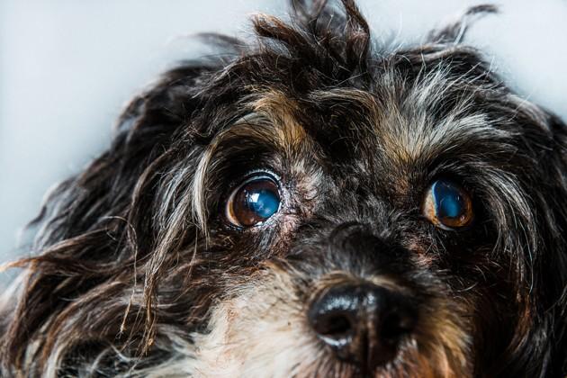 Dois-je faire opérer mon chien de la cataracte ?