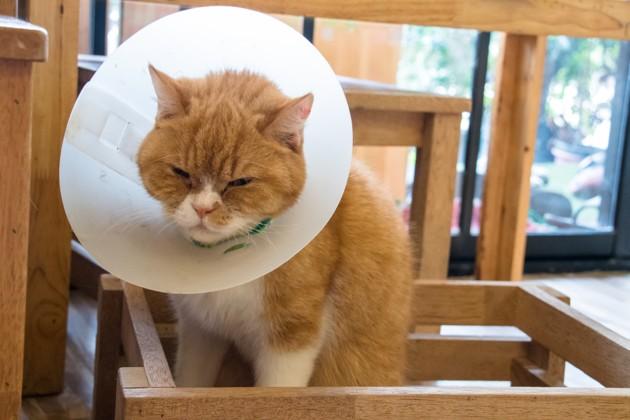 Collerette chez le chat : comment aider mon chat à vivre avec ?