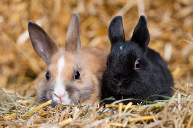 Dois-je faire vacciner mon lapin nain ?