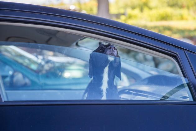 Que faire si je vois un chien enfermé dans une voiture au soleil ?