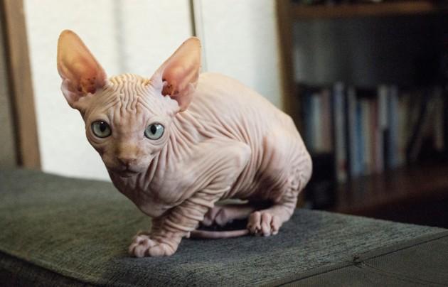 Chats sans poils : caractère, entretien et prix des chats nus