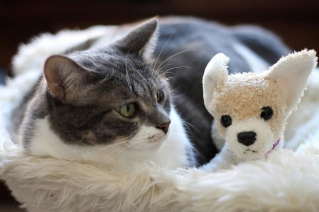 Le chat d'appartement et les doudous : pourquoi en a-t-il besoin ?