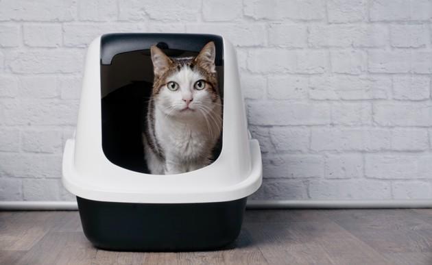 chat dans sa boite à litière