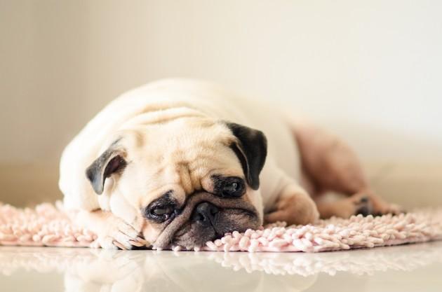 Dysthymie du chien : mon chien est-il bipolaire ?