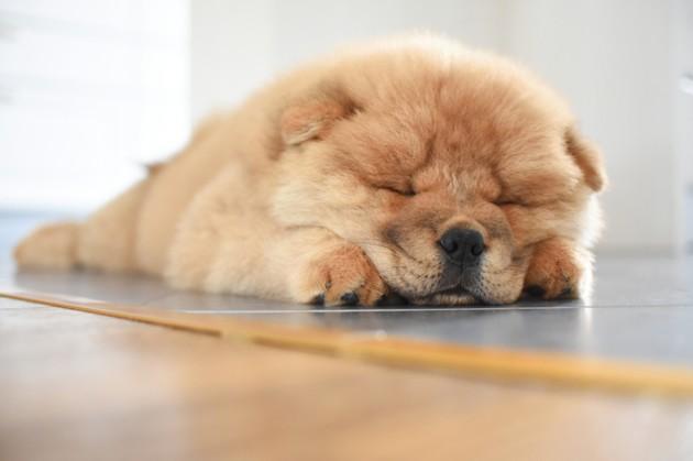 chien chow chow qui fait la sieste