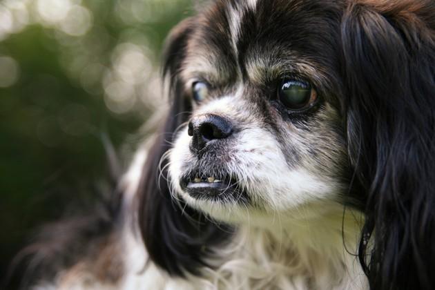 Comment s'occuper d'un chien aveugle ou malvoyant ?