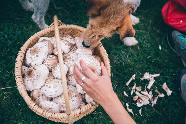 cueillette de champignons sauvages chien