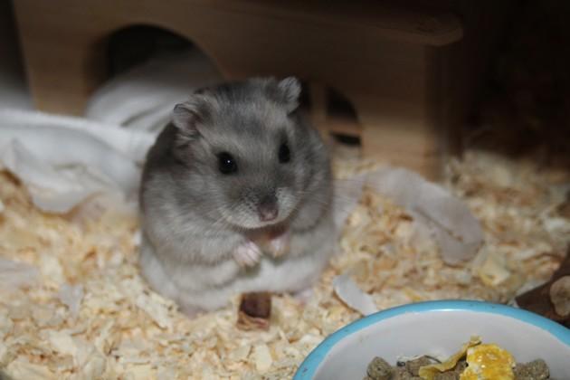 hamster russe qui mange