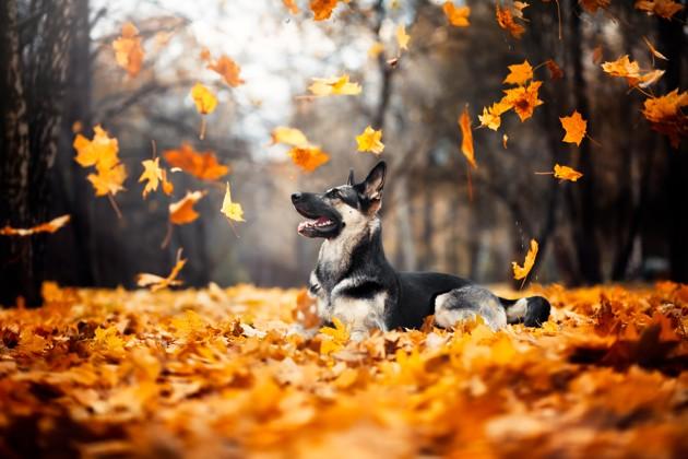 chien qui joue avec des feuilles d'automne