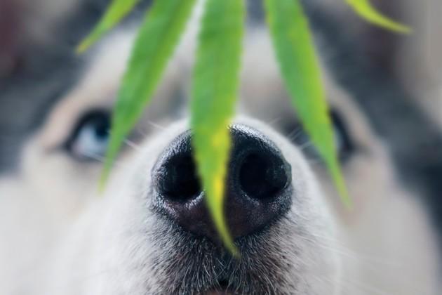 Peut-on donner du CBD à son chien ?