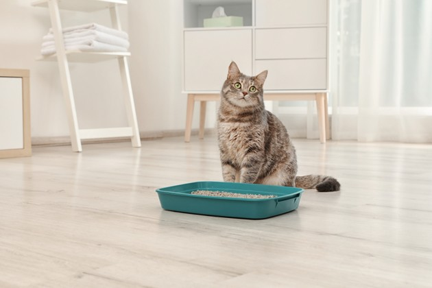 chat assis près de sa litière, cystite du chat
