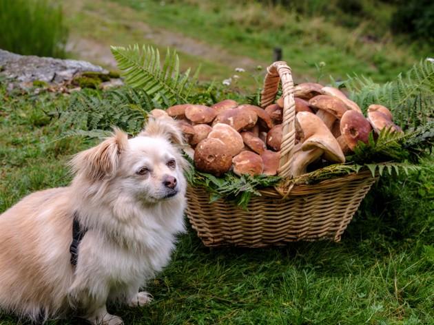 Peut-on donner des champignons à un chien ?