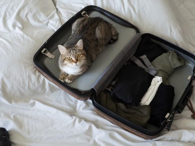 chat qui voyage dans une valise