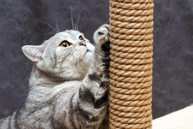 chat qui gratte un arbre à chat