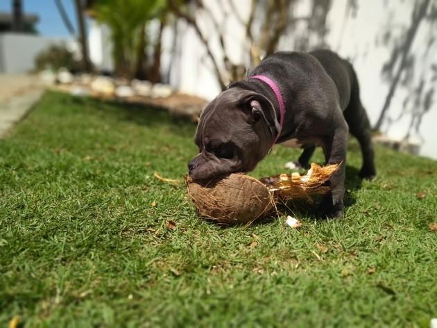 chien qui joue avec une noix de coco