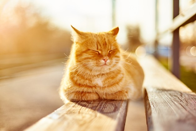 Carcinome épidermoïde chez le chat : comment protéger mon chat de ce cancer de la peau ?
