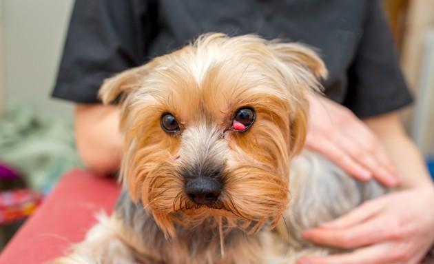 Luxation de la glande nictitante chez le chien : symptômes et traitement