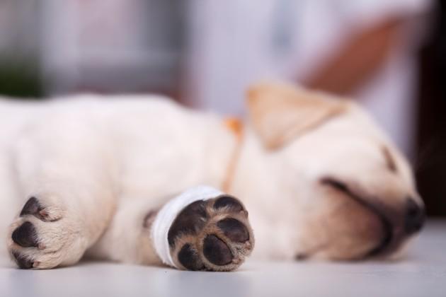 Comment désinfecter les pattes de son chien avec des produits naturels ?