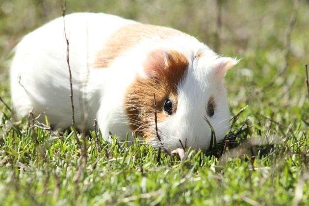 Comment reconnaître, soigner et éviter un coup de chaleur chez le lapin ou le cochon d'Inde ?