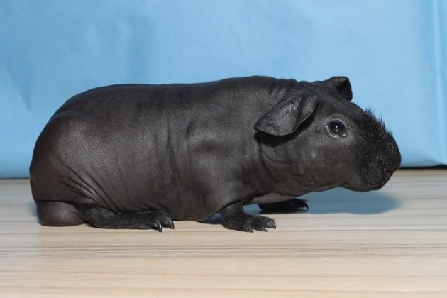 Ces cochons d'Inde sans poils ressemblent à des hippopotames miniatures !