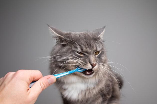 Quel type de routine dentaire mon chat devrait-il avoir ?