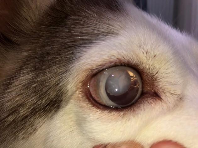 Qu'est-ce que la luxation du cristallin chez le chien, et comment la traiter ?