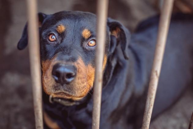 Chien rottweiler dans un box de refuge