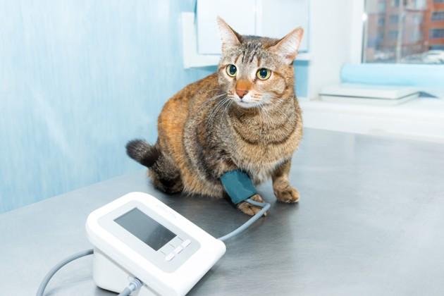 chat qui fait un test de tension artérielle