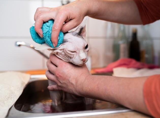 chat sphynx qui reçoit un bain