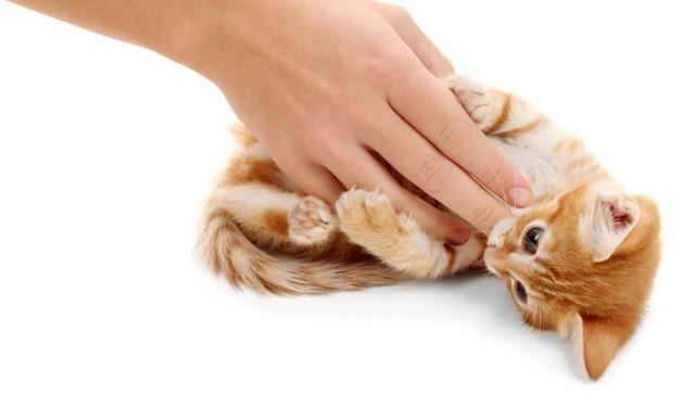 Pourquoi les chats n'aiment pas qu'on leur caresse le ventre ?