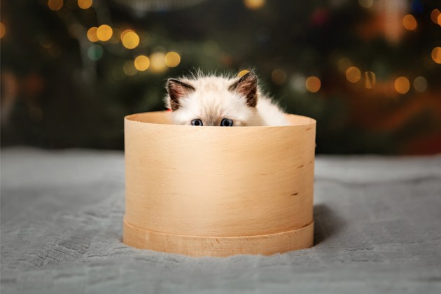 chaton birman dans une boîte en bois sous le sapin de Noël