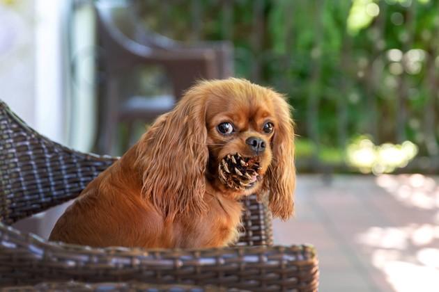 chien qui tient une pomme de pin