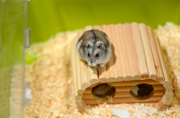 hamster russe cage
