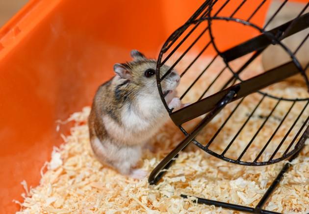 hamster russe avec sa roue dans sa cage