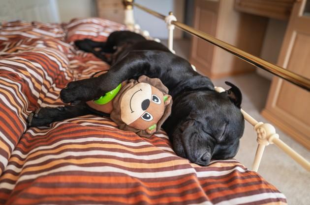 chien qui dort avec un jouet