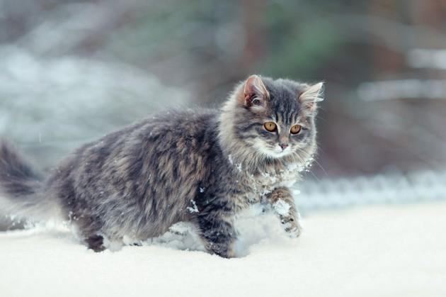 chat qui sort en hiver, neige