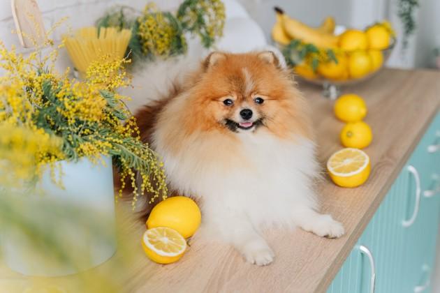 Peut-on donner du citron à son chien ?