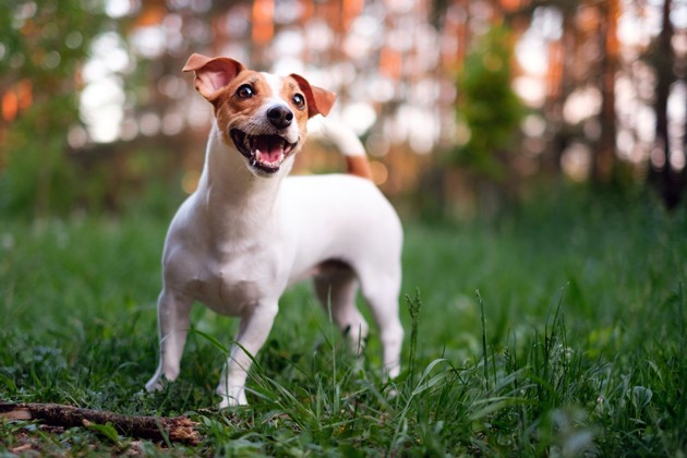 Un Jack Russell