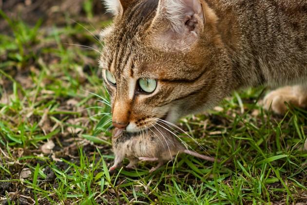 un chat qui chasse une proie