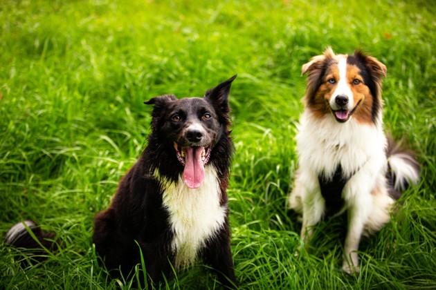 deux chiens joyeux dans l'herbe