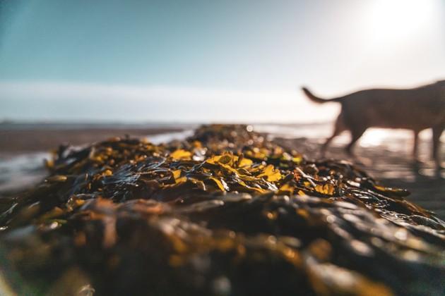 Quels sont les bienfaits des algues pour le chien ?